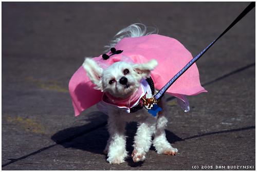 poodle skirt halloween dog pup canine mtlebonon pittsburgh