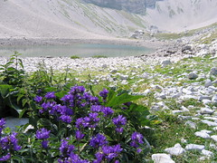 Gentian (Maxresolution) Tags: blue italy mountain lake flower 510fav catchycolors ilovenature lago pond august alpine pilate marche umbria gentian apennine pilato sibillini vettore