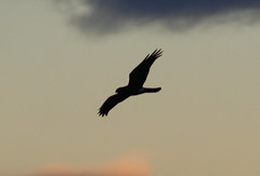IMG_6522.jpg (wildorcaimages) Tags: sky clouds birds snowgeese