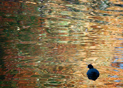 duck in gold water - by charmar