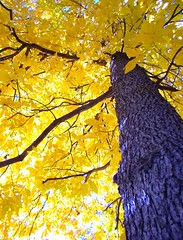 fall (avmaier) Tags: tree fall leaves fav 1025