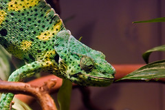 Chameleon (jerkylicker) Tags: maxxum5d animals nature sacramento zoo chameleon lizard 1870mm konicaminolta konica maxxum 5d dslr color california dynax
