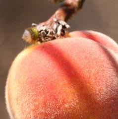Peach fuzz (wanderingnome) Tags: 15fav fruit digital canon rebel peach venturacounty theworldthroughmyeyes thebiggestgroup ©wanderingnomez 306explorepage072307