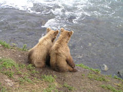 cubs waiting for lunch (lynne bernay-roman) Tags: bear waiting siblings cuddly cubs hungry 510 i500 interestingness244625