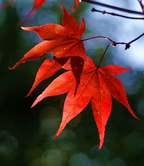 maple (algo) Tags: autumn red topv2222 wow garden wonder photography top20np interestingness maple topf50 bravo gutentag quality topv1111 topv999 explore momiji backlit algo topv3333 topf100 oneyear 4autumn top20naturephotos 4seasonsautumn explore3 gtaggroup goddaym1 oldbutgold
