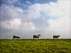 3 schapen op 1 dijk ( - s  ) Tags: holland netherlands dutch sheep nederland dijk dike friesland hindeloopen stavoren schapen top40 schaap