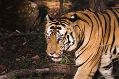 B2 (drivingtoperfection) Tags: tiger d2x dominant indianwildlife bandhavgahr sigma70200f28hsm