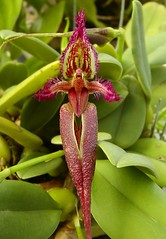 Bulbophyllum fascinator (Brujo) Tags: