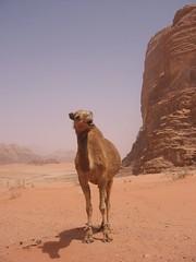 Camel (andywalker1) Tags: desert wadirum jordan climbing rum rockclimbing wadi andrewwalker bedouin jordanie andywalker flohoracek escalades