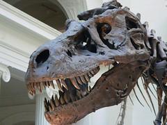 Tyrannosaurus Rex Sue (mharrsch) Tags: fossil dinosaur reptile sue prehistoric chicagofieldmuseum tyrannosaurus suethetrex