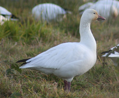 IMG_7118.jpg (wildorcaimages) Tags: snowgeese birds