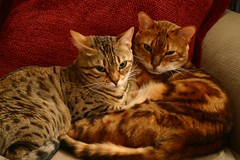 Lilu Lali Luna and Oberon Kenobi (Cyren) Tags: kitties cat bengal screensaver