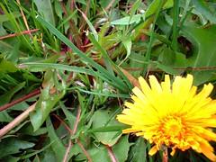 plant dandelion 4