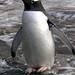 Penguin Posing