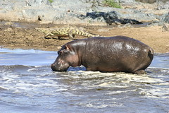 Hippo + Crocodile (Ferdinand Reus) Tags: africa travel tanzania safari crocodile afrique  hyppo