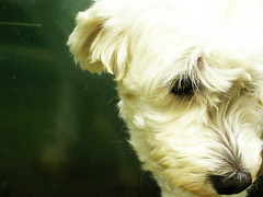 emo dog (alineioavasso) Tags: dog cute co sweet cachorro poodle challengeyouwinner