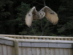 indian eagle owl (piglicker) Tags: bird animal zoo flight owl olympuse300 edinburghzoo eagleowl