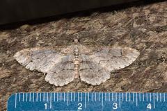 Iridopsis emasculata 20050726_4313 (GORGEous nature) Tags: yard washington gray moth july stevenson skamaniaco geometridae ennominae wa dorsal midsize iridopsis iridopsisemasculata mona6589 johndavis