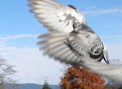Pigeon in Flight (quinet) Tags: columbalivia pigeon rock dove flight wings inflight