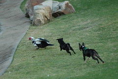 Bad dogs (Citizen Rob) Tags: dog bostonterrier lulu pug petey