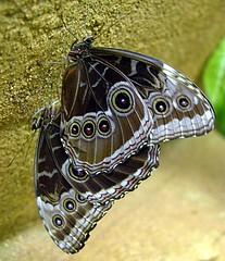 16829-palmengarten-170106 (NaturKamera) Tags: schmetterling butterfly top20butterflymoth morpho