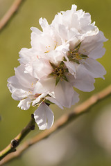 Almond Blossoms (Life of David) Tags: california flower tree topv111 tag3 taggedout tag2 tag1 none shermanoaks almondblossom wwwdavidlevinsonphotographycom