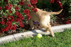 Where'd that ball go? (lawatha) Tags: dog goldenretriever ball puppy lost casey play behind hindend