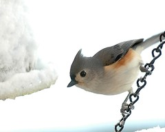 Now We're Talking about Some COLD Feet! (Momba (Trish)) Tags: snow bird birds topv111 wow topf50 nikon d70 nikond70 tennessee topc50 topc75 birdfeeder 100v10f 50100fav titmouse nikkor 1000views tuftedtitmouse momba baeolophusbicolor interestingness18 onetopfave i500 explore26jan06 nikonstunninggallery