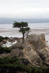 Lone Cypress (mcb5330 (Matt Brown)) Tags: ca beach drive monterey pebble lone cypress 17mile