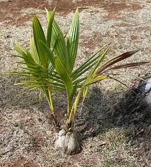 Baby Palm (P-Kittye) Tags: tree tag3 taggedout hawaii tag2 tag1 coconut palm palmtree kauai iwant5 1on1 continuum pkittye