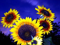 Sunflowers in Blue (JoelDeluxe) Tags: blue red orange yellow albuquerque sunflowers nm joeldeluxe