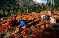 Apricot harvest, the village way (tango 48) Tags: pakistan fruits photography asia harvest apricot kkh agriculture hunza northernareas harvester gilgit sorting firsttheearth