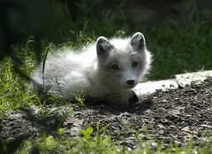 white furry friend (bea2108) Tags: animal animals zoo fox foxes articfox dresdenzoo 123faves top20foxes