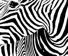 Sebra ztripes (SCFiasco) Tags: blackandwhite bw topf25 topv111 photoshop interestingness topf50 topv555 topv333 bravo saveme5 deleteme10 topv1111 topc50 topv999 interestingness1 500v50f zebra topv777 scfiasco topphotoblog 1000v40f abigfave siasoco edwinsiasoco edsiasoco