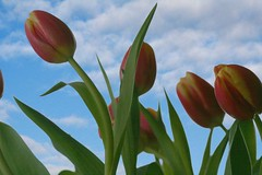 Tulips on your organ... (Living Juicy) Tags: pink blue flower green tulips personalfav livingjuicy lj2006