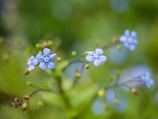 【色別】ブルースターの花言葉|ピンクスター/オキシペタラム