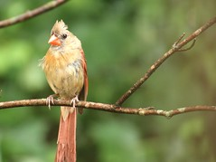 Mamma Cardinal: e' la pioggia che va (Bella Lisa) Tags: bird branch cardinal feeder uccello femalecardinal northerncardinal uccellino lamamma