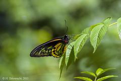 Ornithoptera croesus croesus ♂ (Hiro Takenouchi) Tags: wild nature insect butterflies maluku bacan