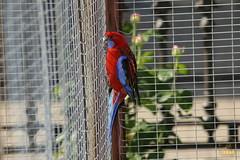31. Pennant parrot / Попугай Пинант