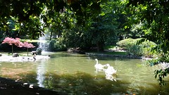 Afternoon Swim III (Michel Curi) Tags: park travel espaa nature water birds animals landscape spain europe asturias paisaje swans naturalparadise animales oviedo asturies parasonatural visitspain