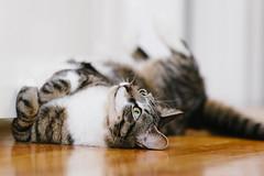 DSC09571.jpg (Yi-Chien Chang) Tags: cat gato