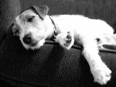 blackandwhite dog dogs jrt terrier jackrussellterrier dogrescue