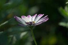 DSC04101 (oliveplum) Tags: flower tourism singapore sony daisy gardensbythebay leica60f28macro
