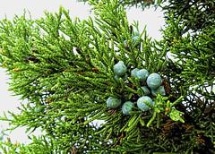 Mountain Cedar (brucecarlson66) Tags: county blue red brown mountain tree green rain austin berry texas berries purple outdoor hill drop blueberry springs cedar segment dripping juniper raindrop fever allergy ashe allergic segmented dioecious