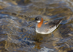 Red-necked Phalarope (Markp33) Tags: