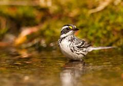 Black-throated Gray Warbler (Martin Dollenkamp) Tags: vancouverisland waterfeature warbler movingwater blackthroatedgraywarbler wildlifegardening setophaganigrescens