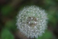 Dandelion (hobbitbrain) Tags: dof dandelion