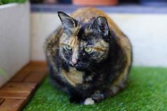 Posing (tseyin) Tags: portrait pet cats pets macro animal closeup cat sony kitty sigma neko catlovers nekoneko bestofcats kittyschoice brindlecat