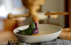 DSC_7918 (Jenny Yang) Tags: pet bird lady finch gouldian