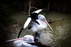 Melbourne Zoo, Pelicans (jmiller291) Tags: boy lake storm nature water animals canon dam flight australian melbourne pelican swamp melbournezoo 40mm pancakelens 650d t4i stormboy